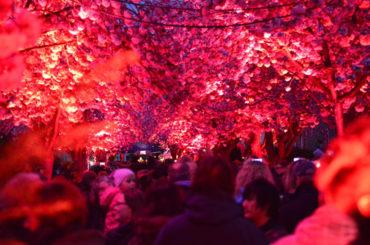 Die Blüte geht auf: Kirschblütenfest findet am Freitag und am Samstag statt