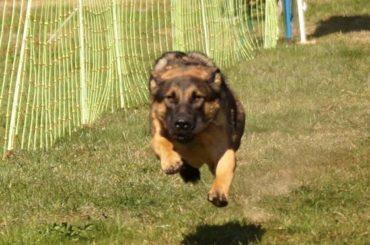 Erfolgreiche Turniere beim Schäferhundeverein